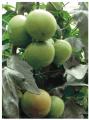 Tomate Grethel, semilla