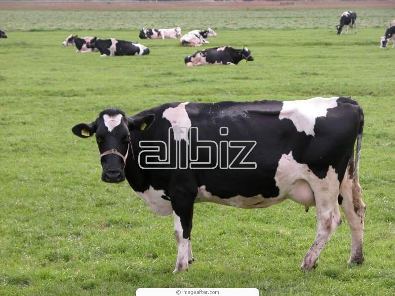 Pedido Cría de ganado bovino