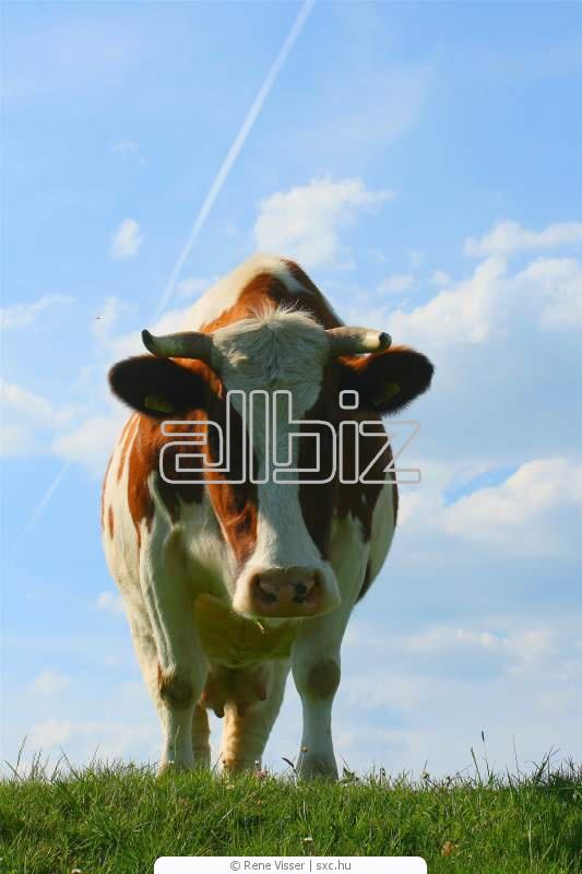 Pedido Matanza de ganado bovino