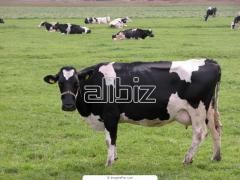 Cría de ganado bovino